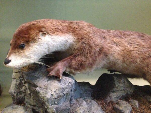 Der nachtaktive Fischotter, ein putziges Tierchen, aber ein gnadenloser Fischräuber